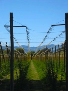 Vineyard, Vineyard New Zealand, New Zealand, New Zealand WWOOF