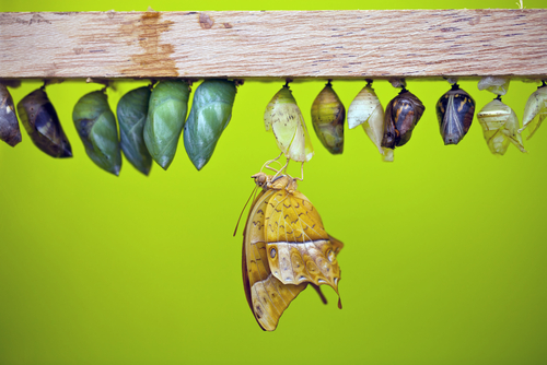 chrysalis in color