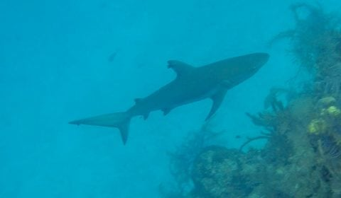 Reef Shark near the Blue Hole