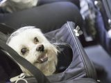 Most airlines charge a fee for pets that fly in the cabin.