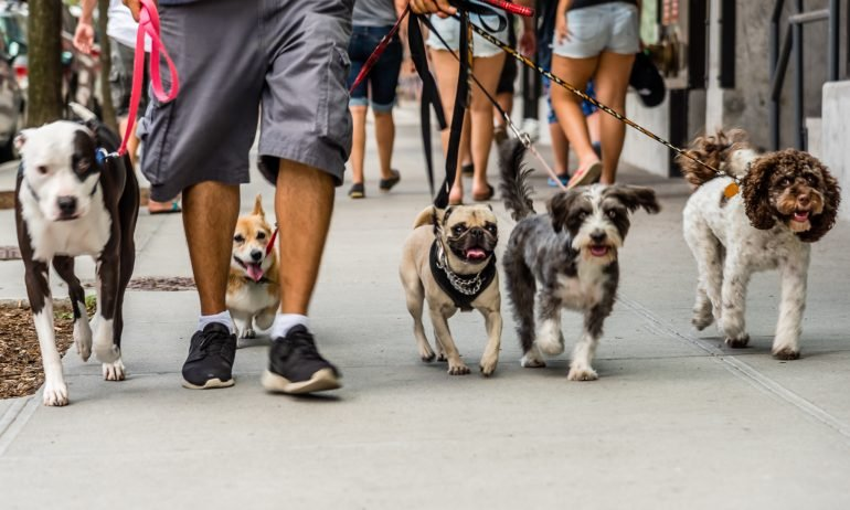 Dog's eye view of man walking several dogs on leashes